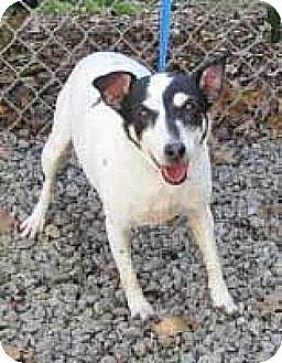 Jack Russell Terrier Dog for adoption in Columbia, Tennessee - Sassy