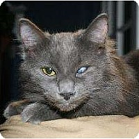 Domestic Mediumhair Cat for adoption in Napa, California - Gibby