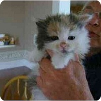 Adopt A Pet :: Cleo - Westfield, MA