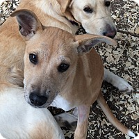 Adopt A Pet :: Precious - Wimberley, TX