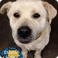 Adopt A Pet :: Olaf - Boston, MA