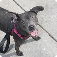 Adopt A Pet :: Haylie - Chicago, IL