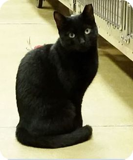 Bombay Cat for adoption in Hallandale, Florida - Mhysa