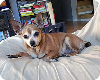 Chihuahua Dog for adoption in Woodinville, Washington - Lulu