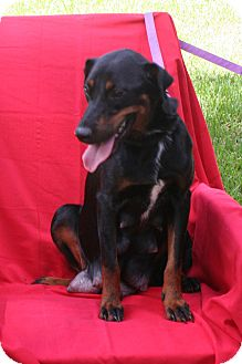 Doberman Pinscher Mix Dog for adoption in Umatilla, Florida - Rosabella