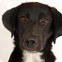 Adopt A Pet :: Andrew LabMix - St. Louis, MO