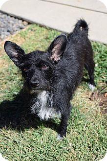 Terrier (Unknown Type, Medium) Mix Dog for adoption in Sacramento, California - Gisele B端ndchen