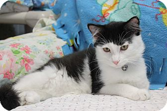 American Shorthair Cat for adoption in New Richmond,, Wisconsin - Clem
