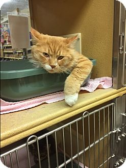Maine Coon Cat for adoption in West Dundee, Illinois - Rupert