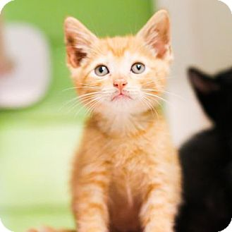 Domestic Shorthair Kitten for adoption in Austin, Texas - Cashew