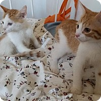 Adopt A Pet :: 2 Super Affectionate Red HeadedKittens!Jake & Sean - Brooklyn, NY
