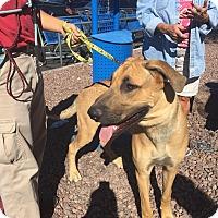 Adopt A Pet :: Tank - Las Vegas, NV
