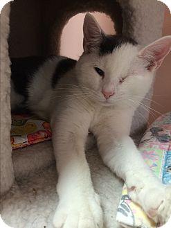 Domestic Shorthair Cat for adoption in Lunenburg, Massachusetts - Benny