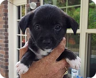 Terrier (Unknown Type, Small) Mix Puppy for adoption in Fort Atkinson, Wisconsin - Sally