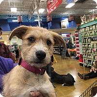Adopt A Pet :: Athena - Sugar Grove, IL