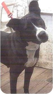 Border Collie/Terrier (Unknown Type, Medium) Mix Dog for adoption in Forest Hills, New York - Keyla