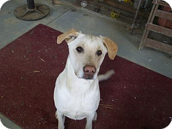 Labrador Retriever Mix Dog for adoption in Carey, Ohio - BENTLEY