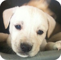 Labrador Retriever Mix Puppy for adoption in Long Beach, California - Maverick
