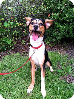 Australian Shepherd/Beagle Mix Dog for adoption in Baton Rouge, Louisiana - Cricket