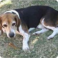 Adopt A Pet :: Strat - Phoenix, AZ