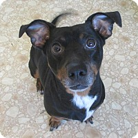 Adopt A Pet :: Spike - Bloomington, IL