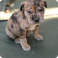 Adopt A Pet :: Denver - San Antonio, TX