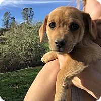 Adopt A Pet :: Marlon - Grass Valley, CA