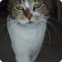 Domestic Shorthair Cat for adoption in Hamburg, New York - Patty
