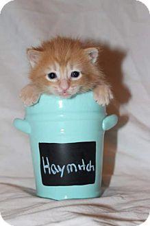 Domestic Mediumhair Kitten for adoption in Fredericksburg, Virginia - Haymitch