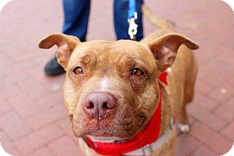 Pit Bull Terrier Mix Dog for adoption in Washington, D.C. - Lola