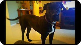 Great Dane/Mastiff Mix Dog for adoption in Killeen, Texas - Vega