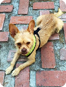 Terrier (Unknown Type, Small)/Chihuahua Mix Dog for adoption in Santa Monica, California - Suki