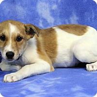 Adopt A Pet :: ANNABELLA - Westminster, CO