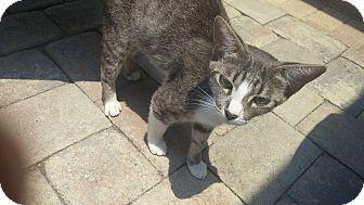 Domestic Mediumhair Cat for adoption in New Port Richey, Florida - Fatima