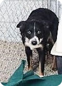 Border Collie Mix Dog for adoption in Monte Vista, Colorado - Pup