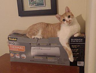 Domestic Shorthair Cat for adoption in Quail Valley, California - CC