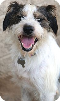 Schnauzer (Miniature)/Terrier (Unknown Type, Small) Mix Dog for adoption in Bedminster, New Jersey - Wilkins