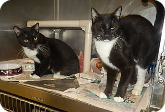 Domestic Shorthair Cat for adoption in Newport, North Carolina - Dale & Brennan