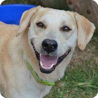 Labrador Retriever Mix Dog for adoption in Athens, Georgia - Charlie