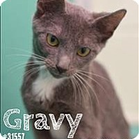 Adopt A Pet :: Gravy - Burlington, KY