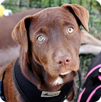 Pit Bull Terrier/Labrador Retriever Mix Puppy for adoption in Albuquerque, New Mexico - Tink