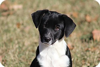 Feist Mix Puppy for adoption in Glastonbury, Connecticut - Pandy~adopted!