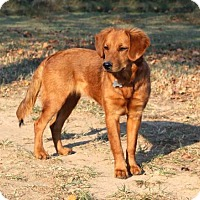 Adopt A Pet :: GINGER ROGERS - Washington, DC