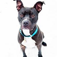 Adopt A Pet :: Calvin Klein - Salt Lake City, UT