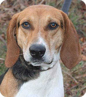 Treeing Walker Coonhound Mix Dog for adoption in Staunton, Virginia - Rabbit