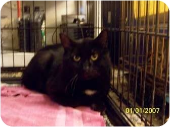 Domestic Shorthair Cat for adoption in Putnam Valley, New York - Cole