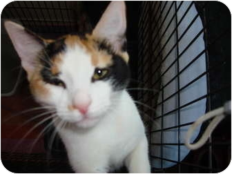 Calico Kitten for adoption in Lake Charles, Louisiana - Maxine