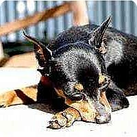 Adopt A Pet :: Frankie - Florissant, MO