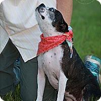 Adopt A Pet :: Stella - Wilmington, DE
