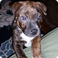 Adopt A Pet :: Bruno - Somers, CT